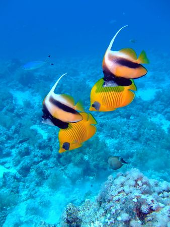 Masked Butterflyfish and Red Sea Bannerfish