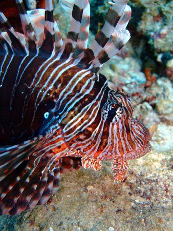Lionfish portrait. Location: Sharm El Sheikh Stock Photo - 3958799
