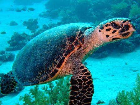 snappy: Hawksbill Turtle