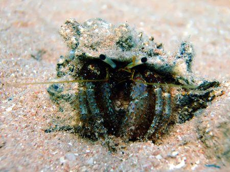 hermit: Reef hermit crab