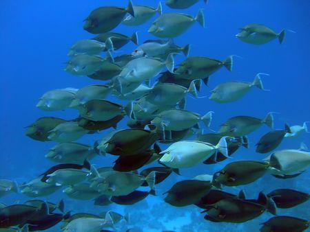 Unicorn Fish Stock Photo - 4157690