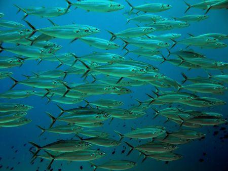 Yellow Fin Tuna Stock Photo - 4157687