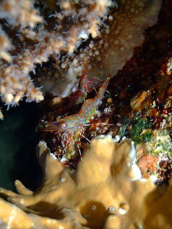 durban: Durban dancing shrimp