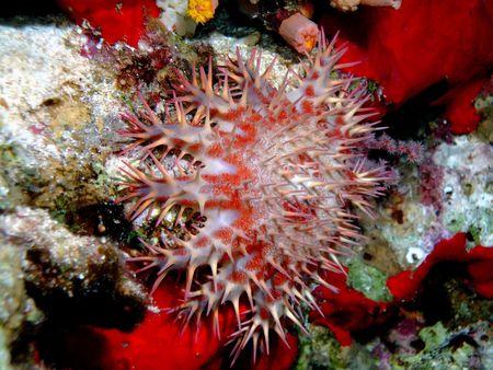 Crown of thorns starfish Stock Photo