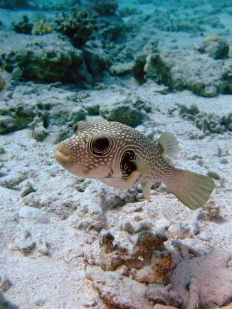 White Spotted Puffer Fish