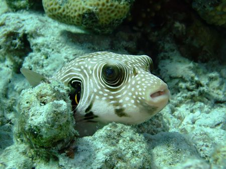 puffer: White Spotted Puffer Fish