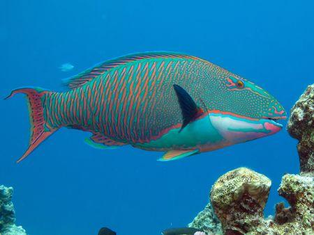 Bicolor parrotfish                   Stock Photo