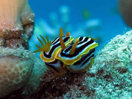 Nudibranch Mating Stock Photo