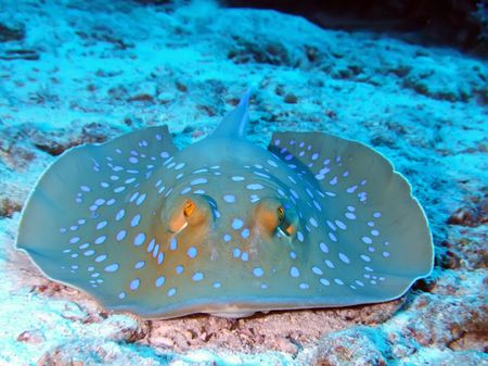 Blue spotted stingray Stock Photo