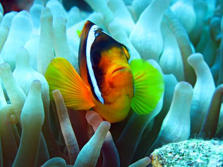 bubble sea anemone: Anemone fish                                Stock Photo