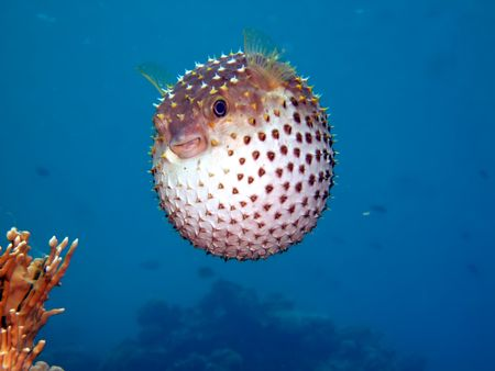 Yellowspotted burrfish Stock Photo