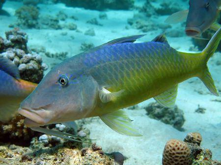 goatfish: Yellowsaddle goatfish