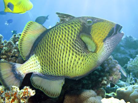 Titan triggerfish                         Stock Photo - 5237364