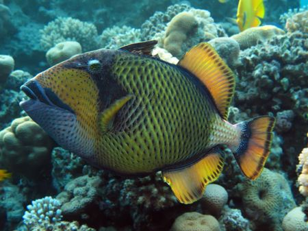 titan: Titan triggerfish                Stock Photo