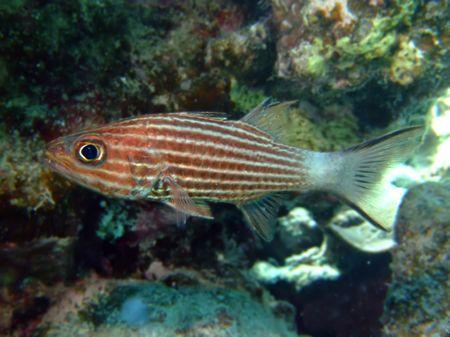 Tiger cardinal fish photo