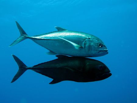 Trevally                           Stock Photo - 5237337
