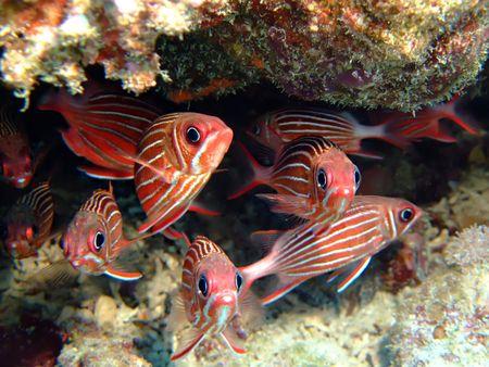 Crown squirrelfish photo