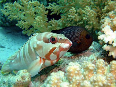 epinephelus: Blacktip grouper  epinephelus fasciatus