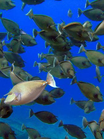 Unicorn fish Stock Photo - 5478049
