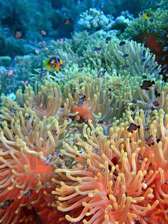 bubble sea anemone: Anemone and fishes
