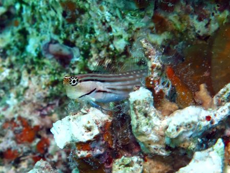 goby: Mar Rosso Combtooth Goby