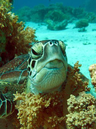 Green sea turtlr