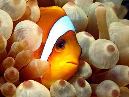 amphiprion bicinctus: Red Sea Anemonefish (amphiprion bicinctus). Taken at Ras Mohammed in Sharm el Sheikh.
