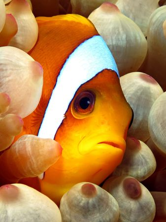 amphiprion: Red Sea Anemonefish (amphiprion bicinctus). Taken at Ras Mohammed in Sharm el Sheikh.