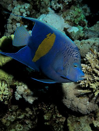 Yellowbar Angelfish Pomacanthus maculosus                              photo