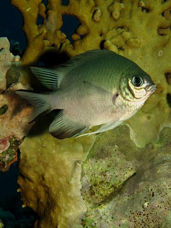 damselfish: Pale damselfish (amblyglyphidodon indicus)                                 Stock Photo