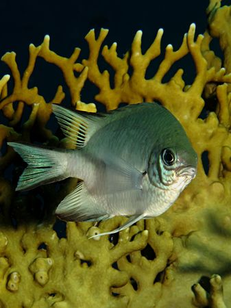 damsel: Pale damselfish (amblyglyphidodon indicus)                                Stock Photo