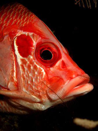 Longjawed squirrelfish. (Sargocentron spiniferum)                                photo