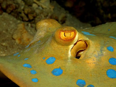 bluespotted: Bluespotted Stingray