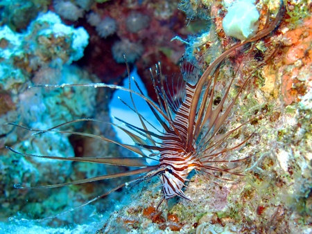 common lionfish: Common lionfish (pterois miles)                                Stock Photo