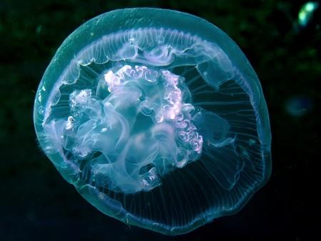 Moon jelly fish (Aurelia aurita). Taken at Red Sea