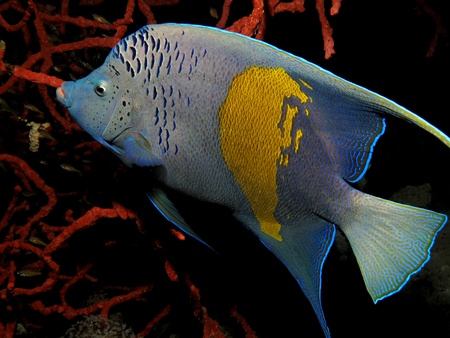 Yellowbar angelfish                               photo