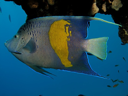 Yellowbar Angelfish (Pomacanthus maculosus)                                                               photo