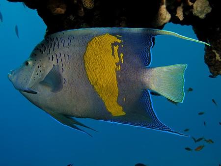 pomacanthus: Yellowbar Angelfish (Pomacanthus maculosus)                                                               Stock Photo