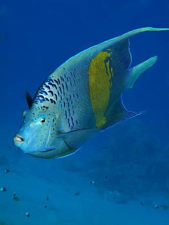pomacanthus: Yellowbar Angelfish (Pomacanthus maculosus)