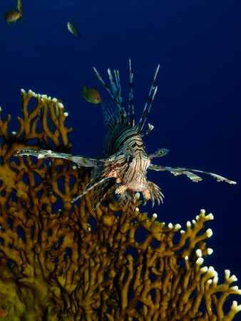common lionfish: Common lionfish