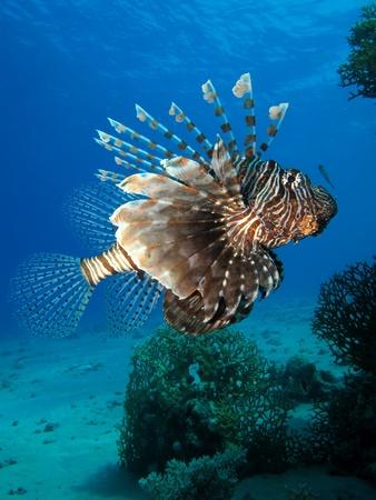 Common lionfish                                                             Stock Photo