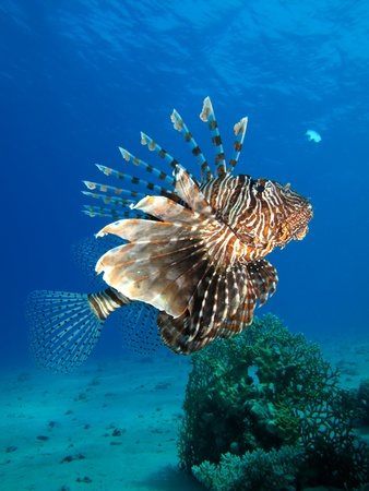 Common lionfish                                                             photo