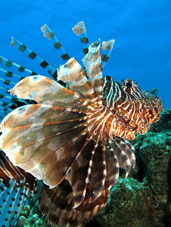 common lionfish: Common lionfish                              Stock Photo