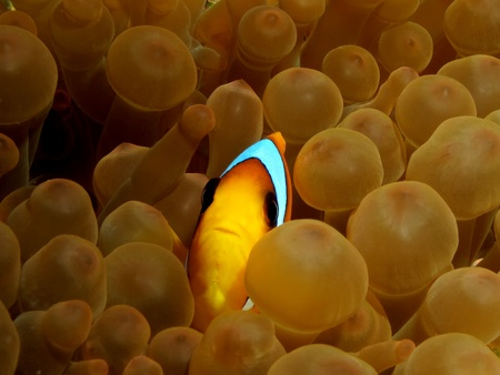 Red Sea Anemonefish (amphiprion bicinctus)                                photo