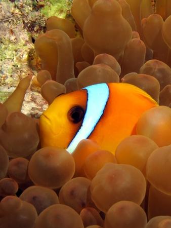 amphiprion bicinctus: Red Sea Anemonefish (amphiprion bicinctus)