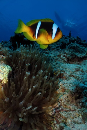 bubble sea anemone: Red Sea Anemonefish (amphiprion bicinctus) Stock Photo