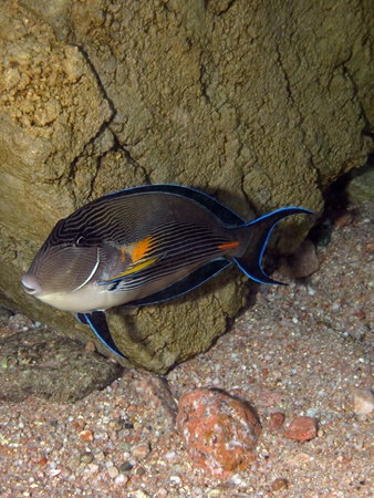 surgeonfish: Sohal surgeon-fish at the Red Sea Stock Photo