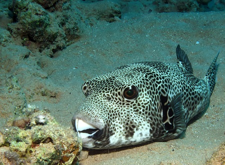 arothron: Starry Puffer (Arothron stellatus)