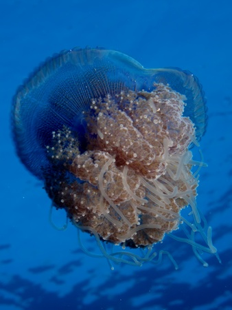 Cauliflower jellyfish - Cephea cephea