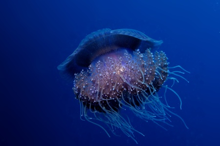 Cauliflower jellyfish - Cephea cephea photo